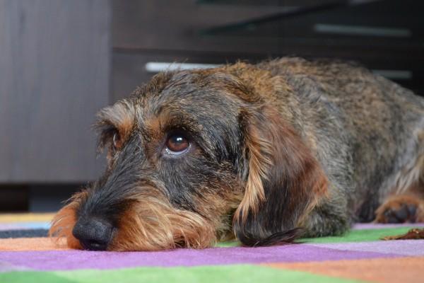 dachshund-3234675_1920-Brummeier-auf-Pixabay