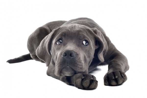 graue-Dogge_36355837_S